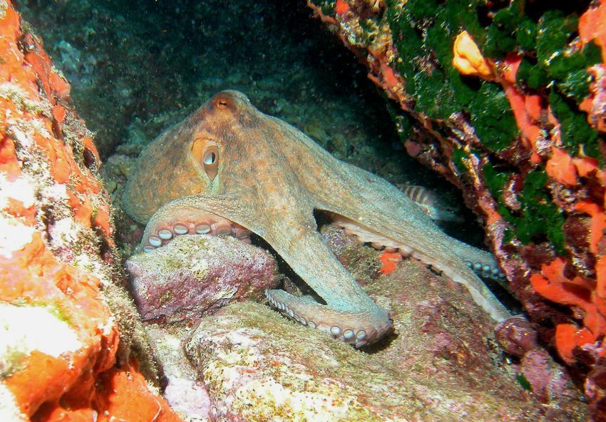 Sardinien - Capo Caccia, Capo Caccia,Sardinien,Italien,...Oktopus