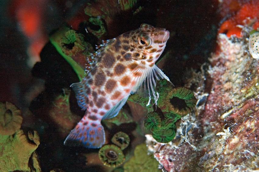 Lhaviyani Atoll Komandoo, Lhaviyani Atoll Komandoo,Malediven,gefleckter Korallenwächter,Cirrhitichthys oxycephalus