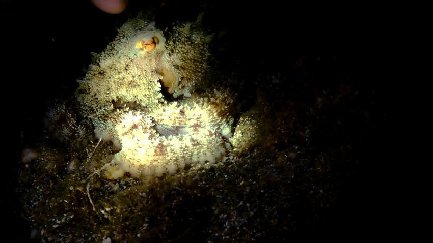 octopus, Kea Divers, Kea, Griechenland