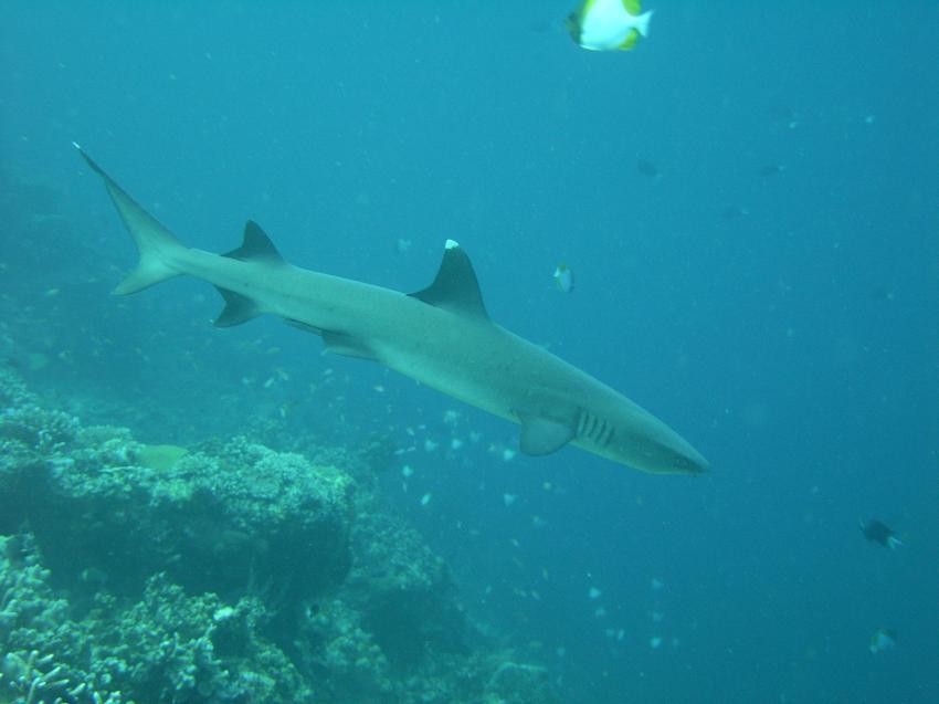 Mabul, Mabul,Malaysia,Haie,Weißspitzenhai