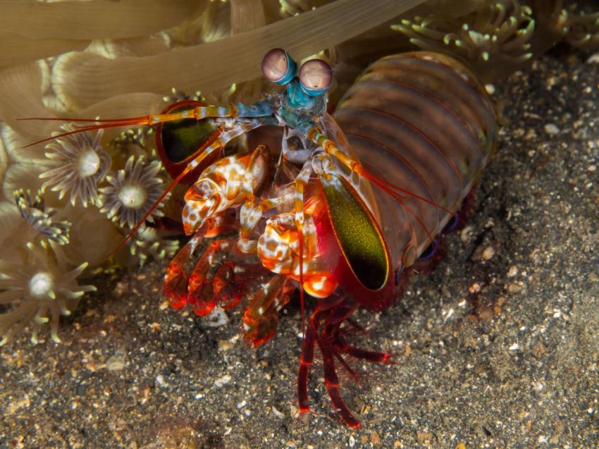 Bunter Fangschreckenkrebs, Fangschreckenkrebs, Bunter Fangschreckenkrebs, Critters@Lembeh - Lembeh Resort, North Sulawesi, Indonesien, Sulawesi