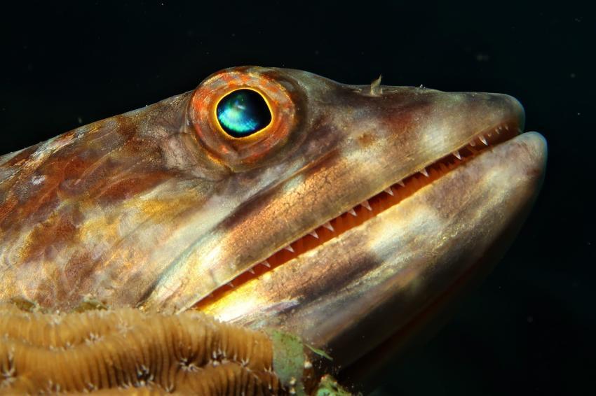 Eidechsenfisch, Villa Mango Curacao Dive Center, Willemstad, Niederländische Antillen, Curaçao