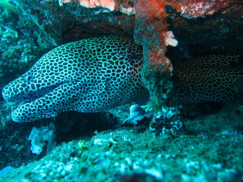 gelbe Muräne, Unawatuna Diving Centre, Sri Lanka