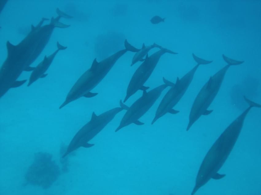 Shaab Marsa Alam , Delfine, Sha´ab Marsa Alam,Ägypten,Delfine,Cetacea,Schule