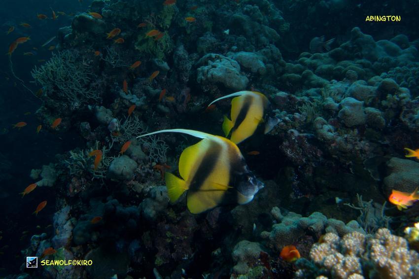 Abington, Sudan Seawolf Safari Abington Reef, Abington Ostplateau, Sudan