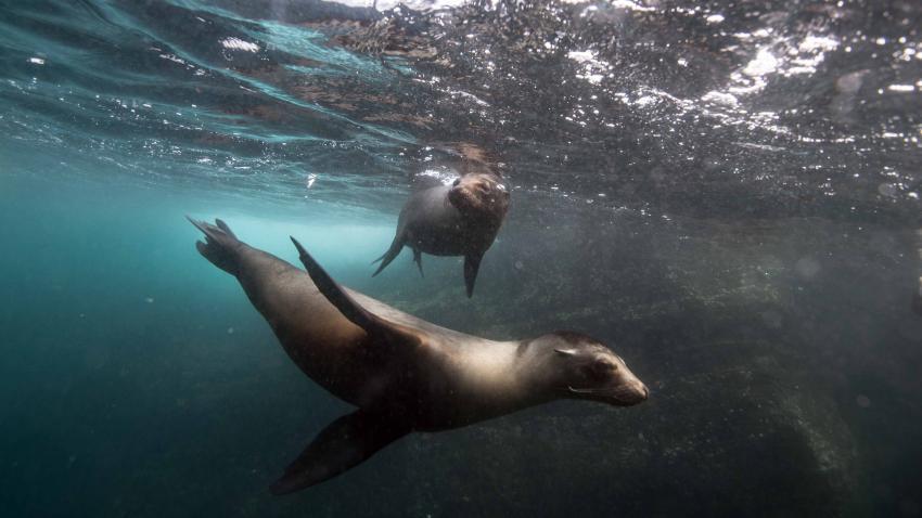 Galapagos Juli, Galapagos,Ecuador,Seelöwe