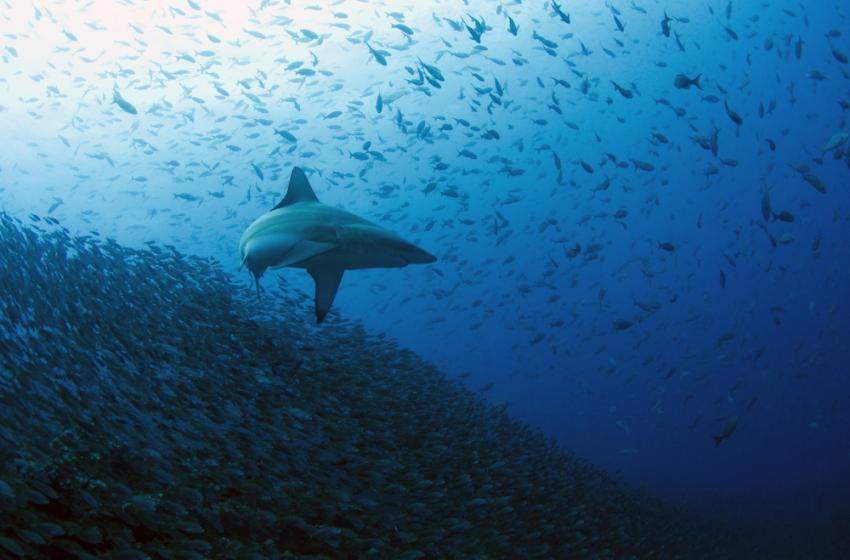 Schwarzspitzenhai mit großen Fischschwarm im Hintergund, Galapagos, Tauchen, Tauchsafari, Schwarzspitzenhai, Galapagos Shark Diving, Ecuador