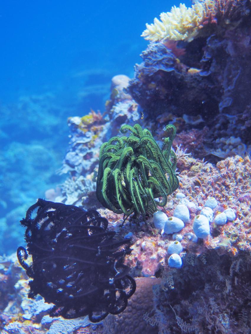 Apo Reef; Federstern, Apo Reef, Pandan Island, Sablayan, Philippinen