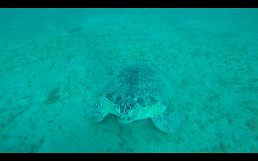 Schidkröte, Schildkröte, Turtle, Blue Ocean Diving Center PADI, SSI, CMAS und IAC, Ägypten, Marsa Alam und südlich