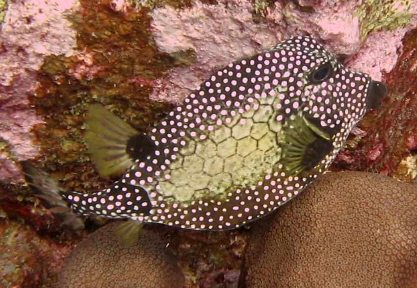rund um West Punt, West Punt,Curaçao,Niederländische Antillen,Perlen-Kofferfisch