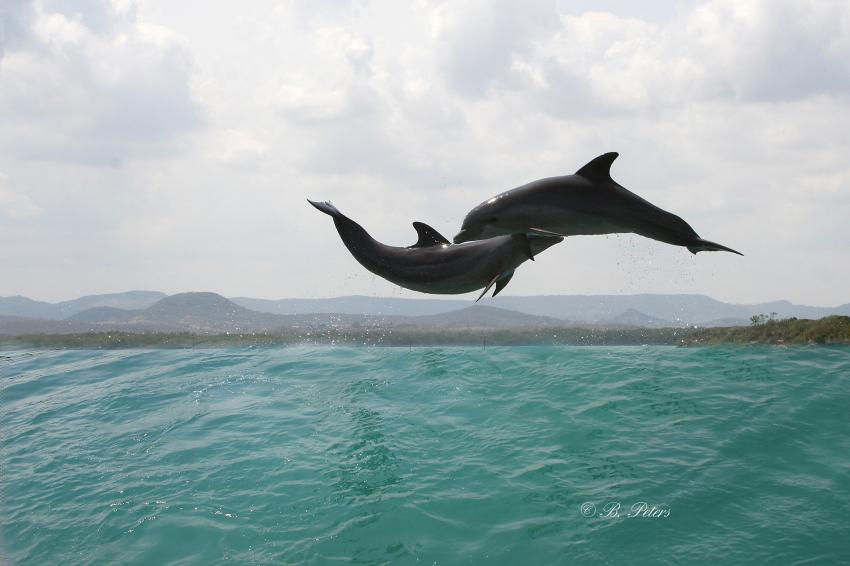 Bahia Naranjo, Bahia Naranjo,Kuba,Delphine,Delfine,springen,Sprung,akrobatisch