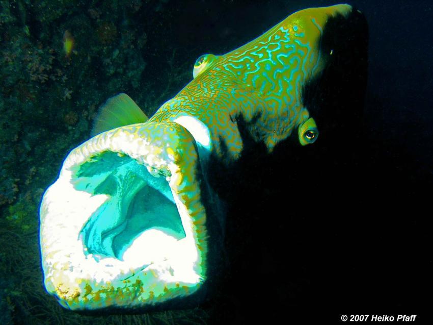 Fishead, Ari Atoll mit MY Hammerhead 2, Fishead,Ari Atoll,Malediven,Napoleon,Maul,offen,gähnen,putzen
