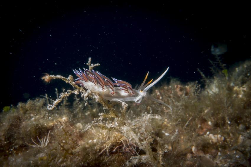Fadenschnecke, Squatina Diving, Insel Krk - Kroatien - Baska, Kroatien