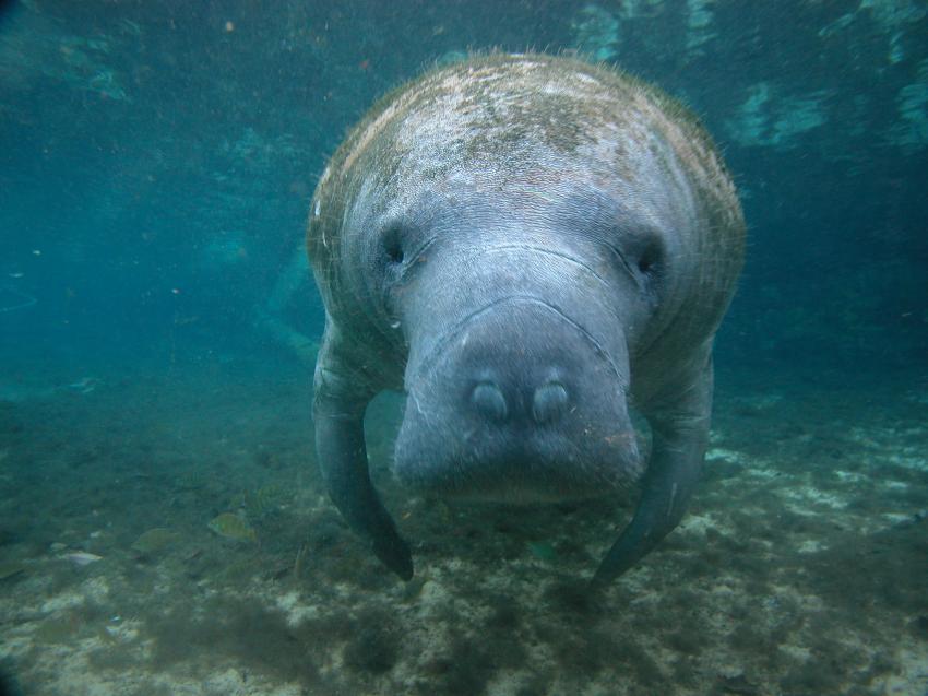 Face to Face, Manatee tour, Bird`s Underwater Dive Center, Crystal River, USA, Florida