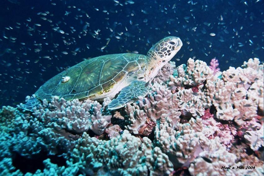 Daymaniyat Islands, Daymaniyat Inseln,Oman,Schildkröte,Schildi