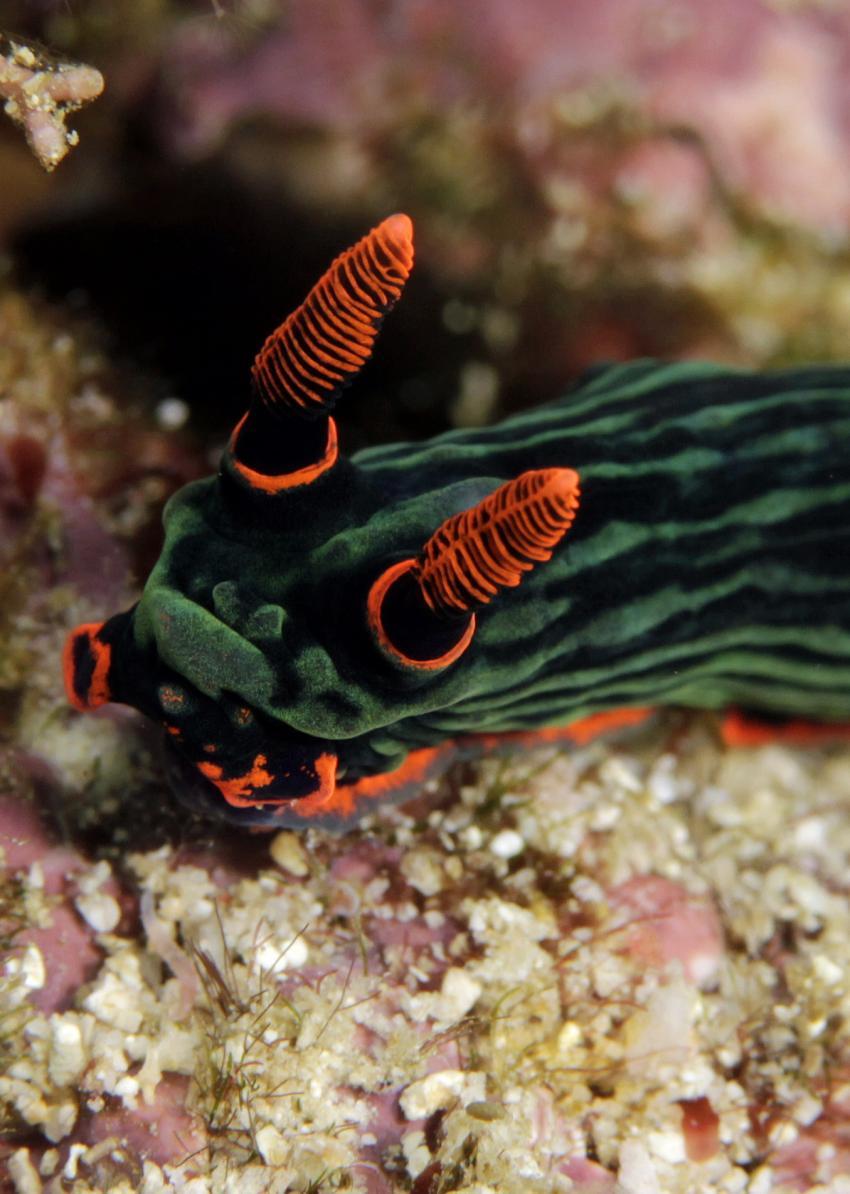 Urlaubsbilder, Raja Ampat,Indonesien,Prachtsternschnecken,Chromodorididae,Nacktschnecke,grün,Koralle