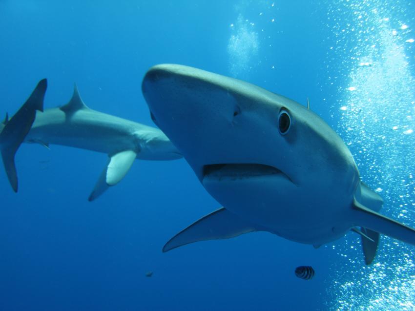 Blauhaie der Azoren