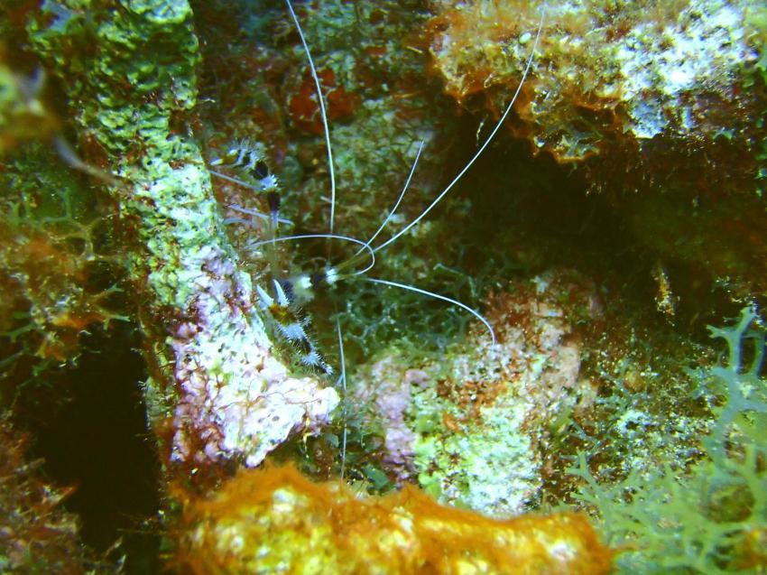 Garnele, Bahia Apartments & Diving, Lagun, Niederländische Antillen, Curaçao