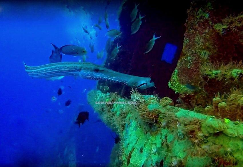 Trompetenfisch, GO DIVE Bayahibe, Dominikanische Republik