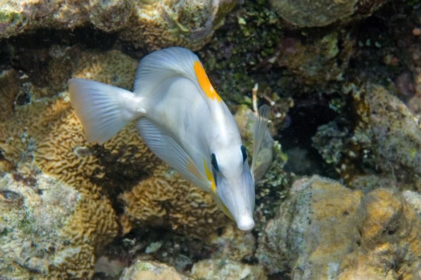Lhaviyani Atoll Komandoo, Lhaviyani Atoll Komandoo,Malediven,Brauner Segelflosser,Farbvariante,Zebrasoma scopas