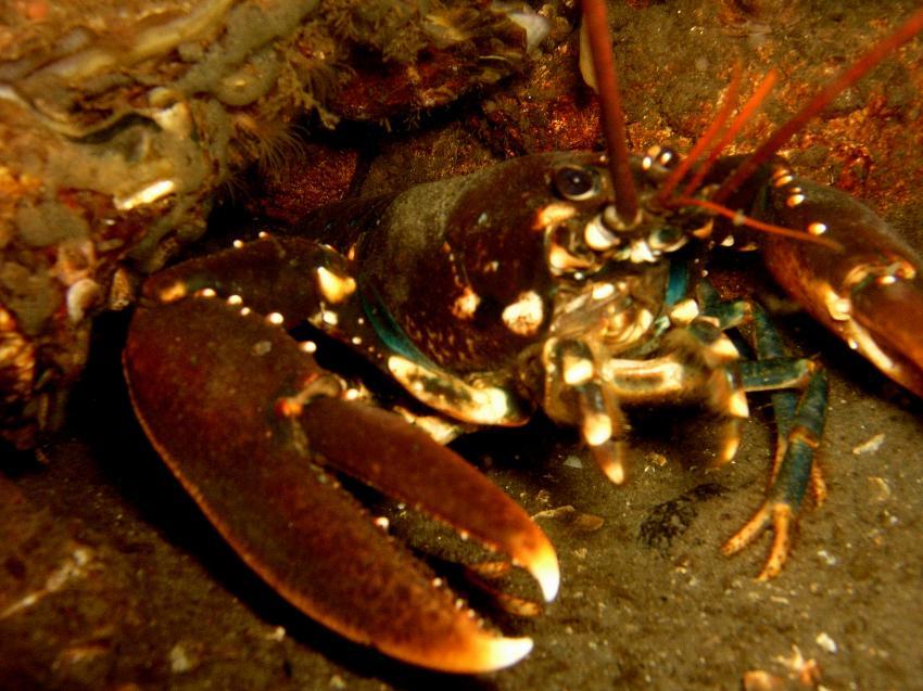 Scharendike Aquarium, Scharendijke,Grevelinger Meer,Niederlande,Scharendike Aquarium,hummer,lobster
