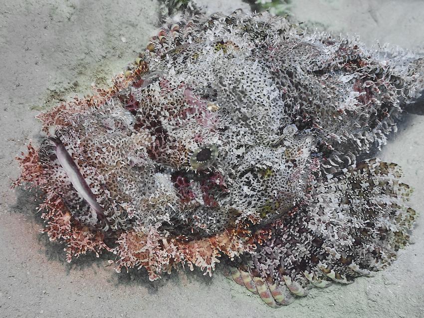 Skorpionsfisch im Gebel El Rosas, Skorpionfisch, scorpionfish, Scorpaenidae, Ägypten