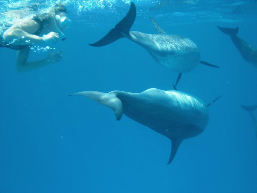 Shaab Marsa Alam , Delfine, Sha´ab Marsa Alam,Ägypten,Delfine,Cetacea,Wasseroberfläche,Schule,Schnorchlerin