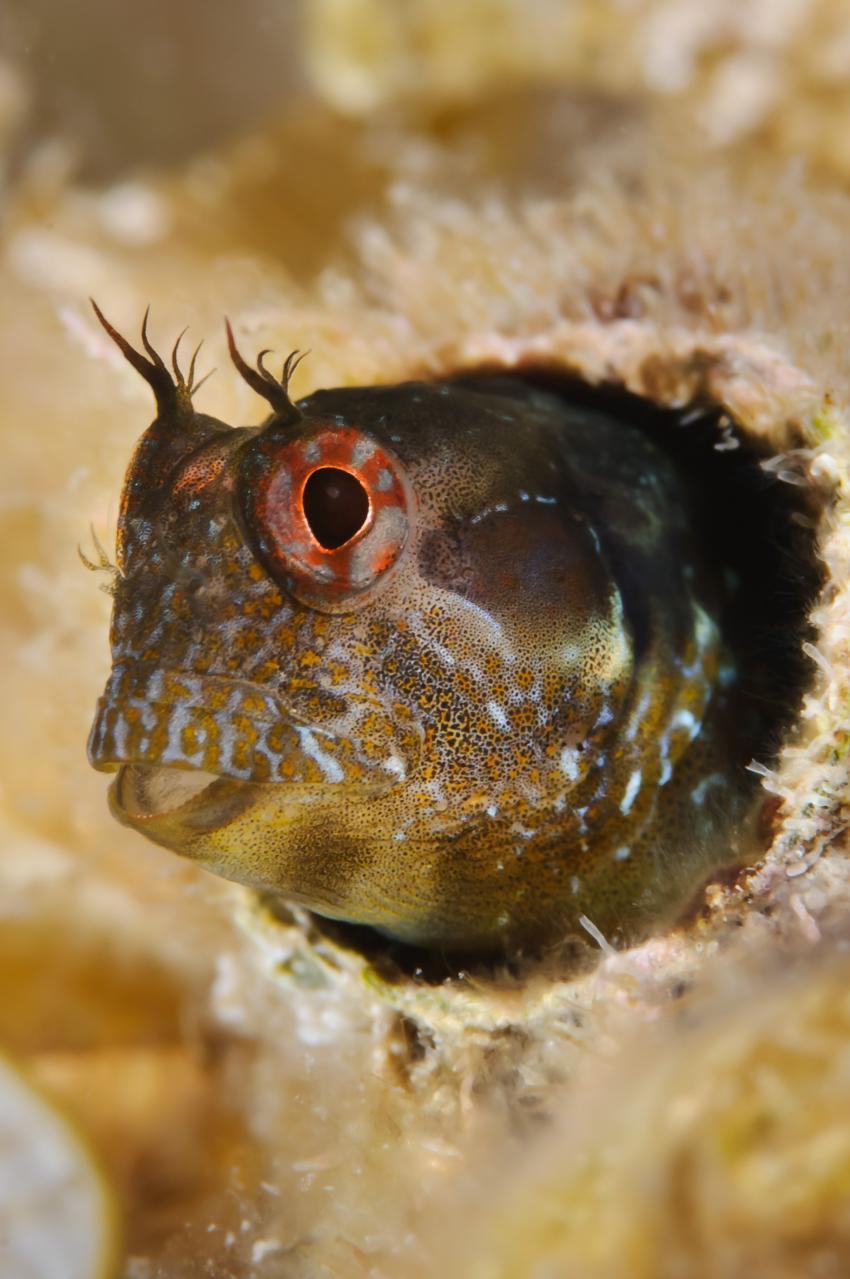 Korsika - MS Galiote, Korsika,Frankreich,Diabolo-Schleimfisch - Parablennius incognitus