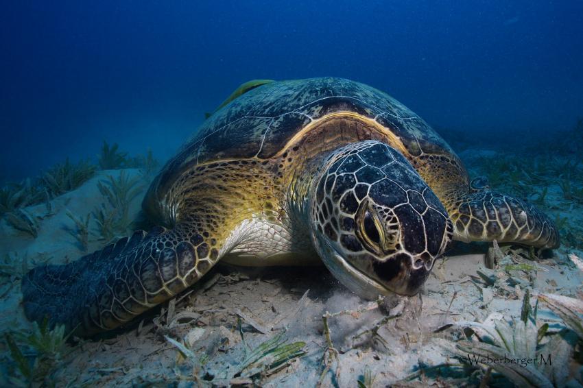 Meeresschildkröte beim Fressen
