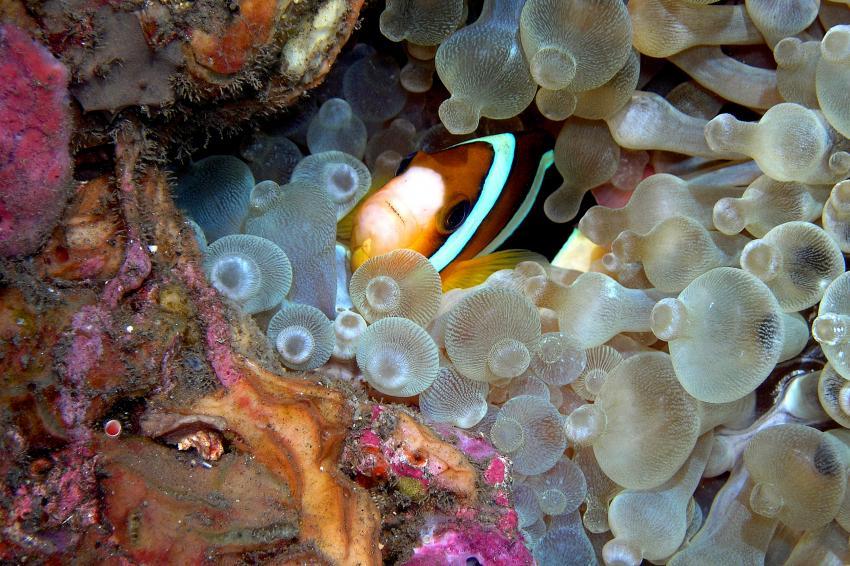 panorama reef, Panorama Reef (Safaga),Ägypten,Clownfisch in Blasenanemone