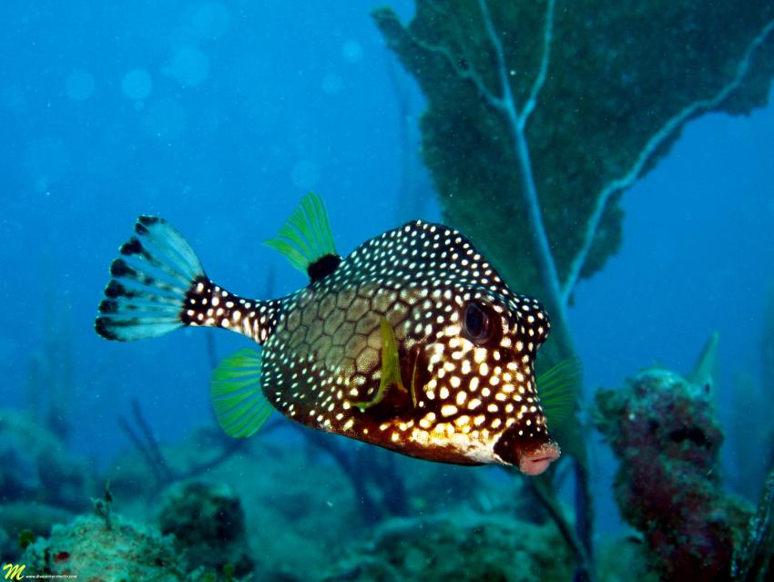 Perlen Kofferfisch/Smooth Trunkfish, Merlin, Sosua, Dominikanische Republik
