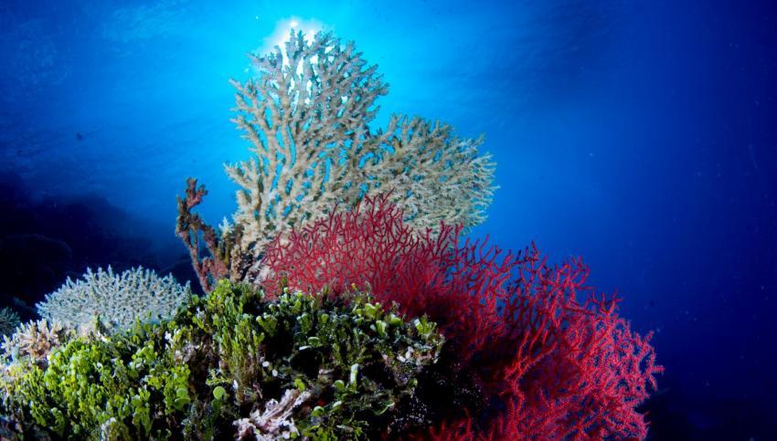 Korallen, Euro-Divers Amari Havodda, Malediven