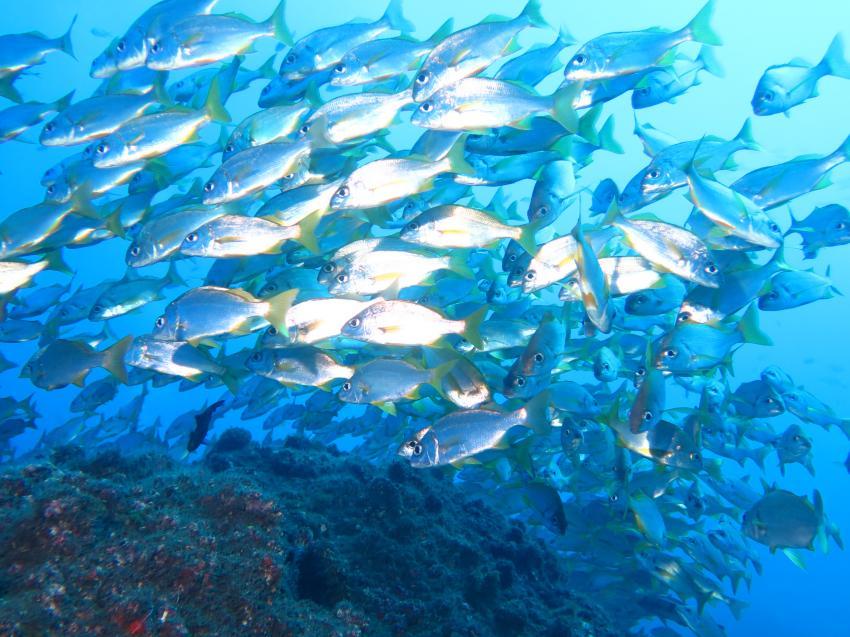 Gelbflossengrunzer, Gelbflossengrunzer, Atalaia, Atalaia Diving Center, Blue Hole, Madeira, tauchen, Portugal