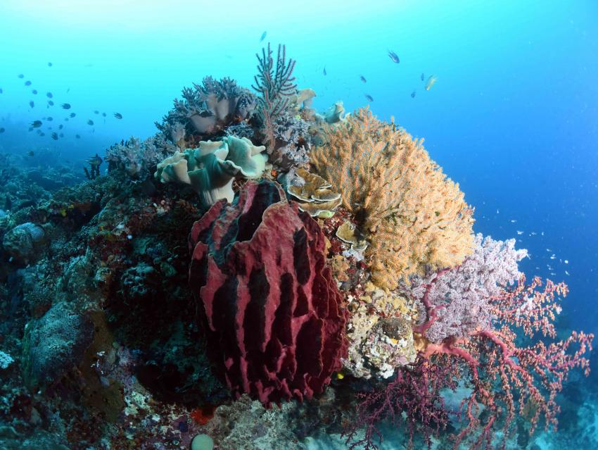 Korallen, M/V Putri Papua, Indonesien