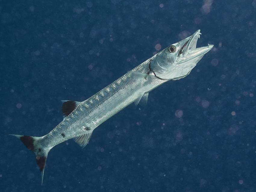 Barracuda bereit für die Putzerfische