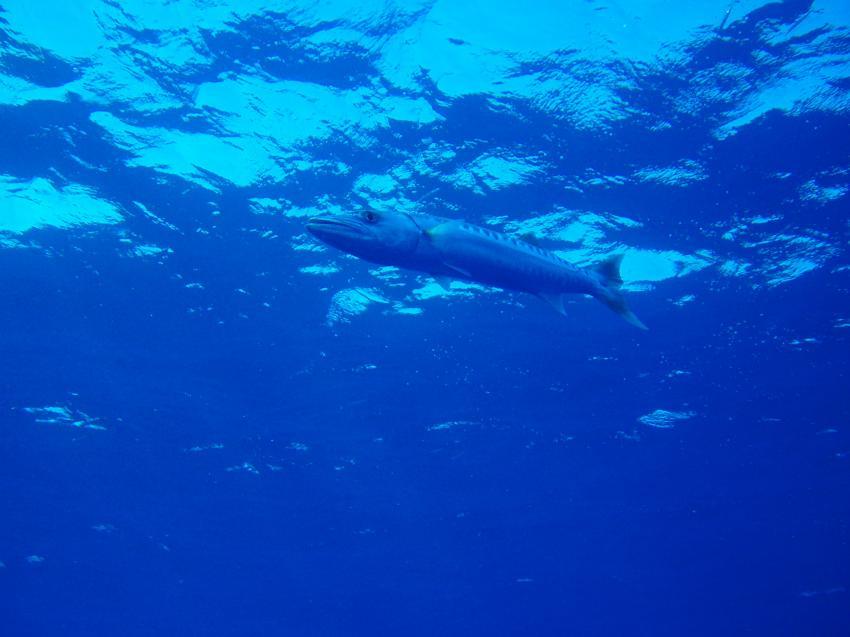 Diving akassia
