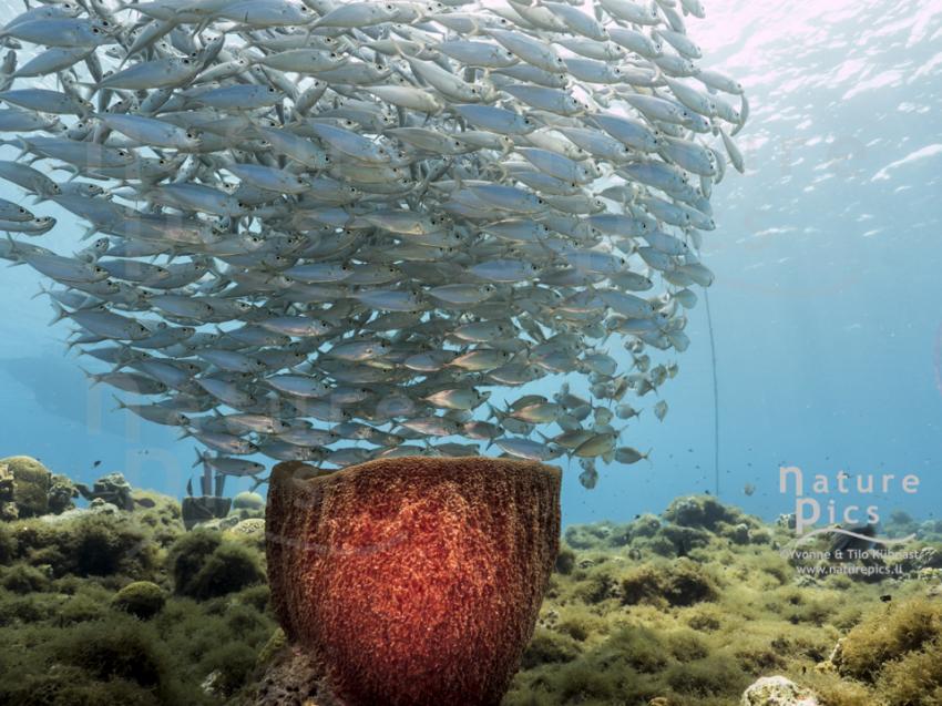Fischball - Playa Piskado, Poppy Hostel Curacao, Willemstad, Niederländische Antillen, Curaçao