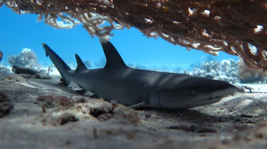 Hai, Riffhai, Höhle, Undersea Adventures, Ägypten, Hurghada