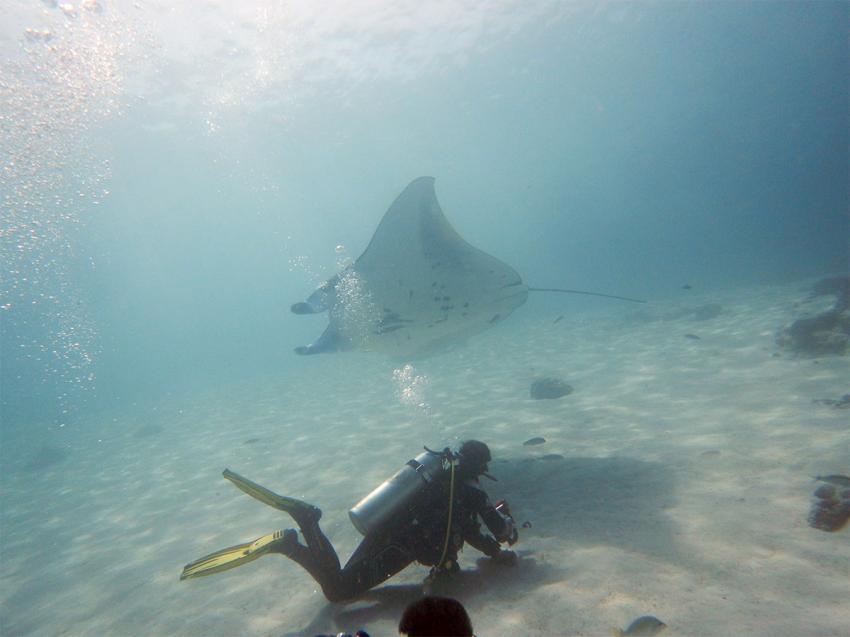 Manta im Vorbeiflug, Manta Rochen Ray, Lagona Divers - Komodo, Indonesien, Allgemein