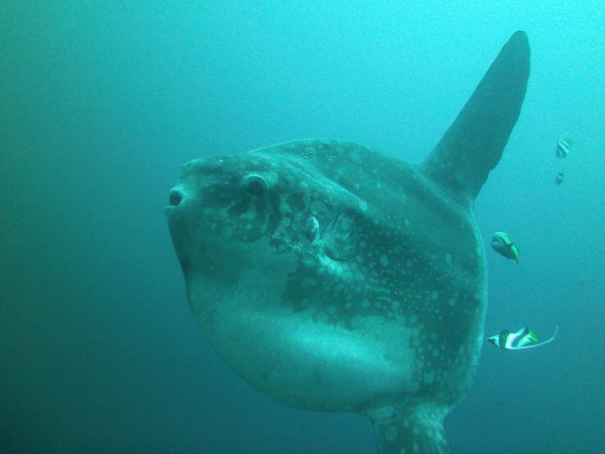 Mondfisch (Mola Mola) vor Gili Mimpang mit diving CANDIDASA, Mondfisch Mola Mola Gili Mimpang diving CANDIDASA Bali Indonesien, Gili Mimpang, Bali, Indonesien