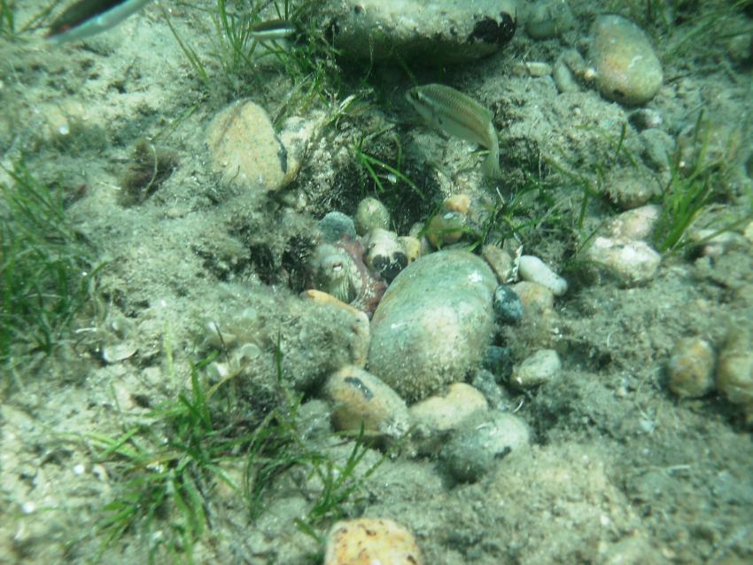 Oktopus, Chalkidiki,Griechenland