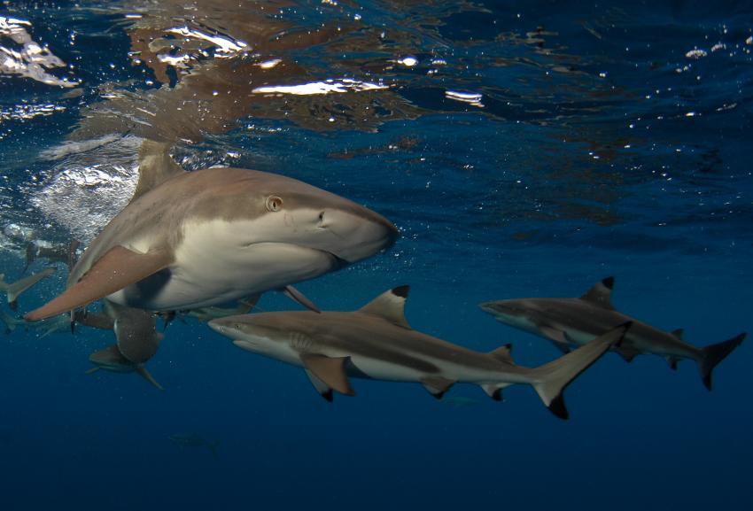 Palau Aggressor 2, Palau und Yap allgemein,Palau,Schwarzspitzenriffhaie