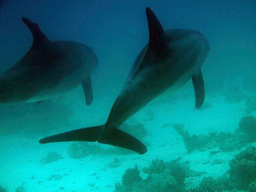 Hurghada, Hurghada - allgemein,Ägypten,Delfine,Pärrchen