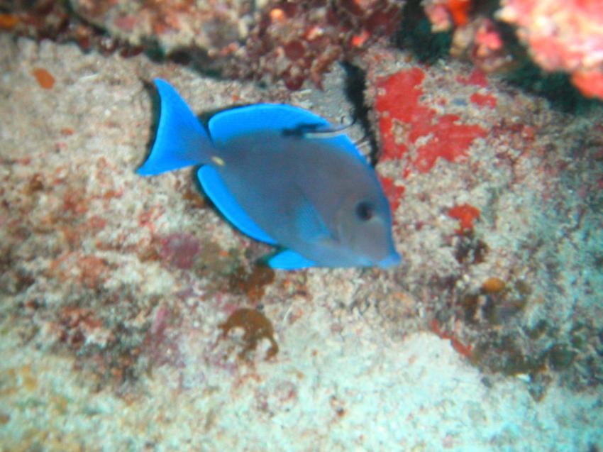 Punta Cana, Punta Cana,Dominikanische Republik,Doktorfisch