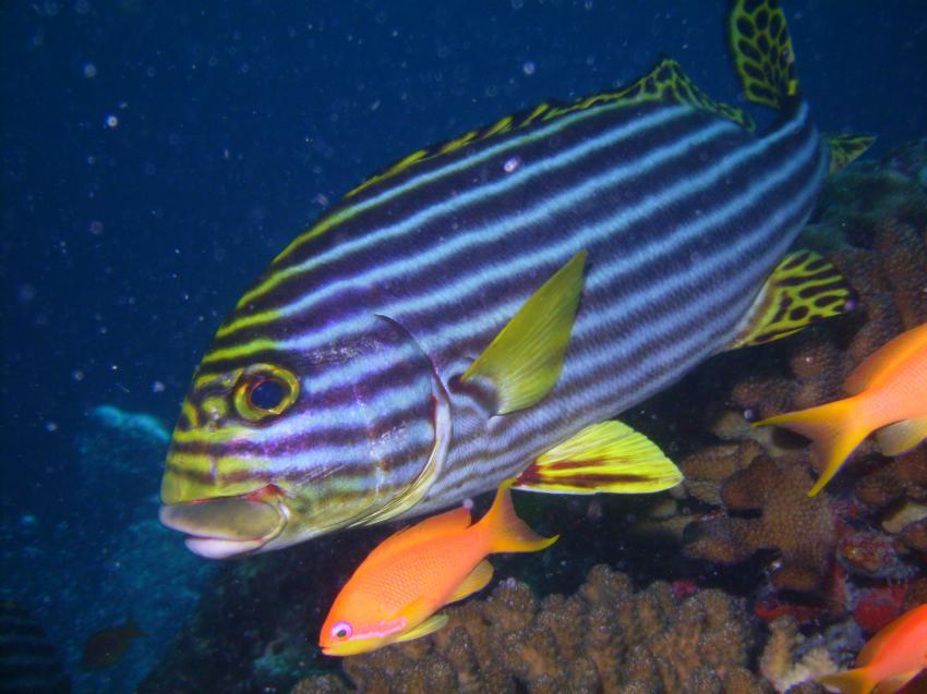 Helengeli, Helengeli,Malediven,süßlippe,orientalische,streifen,fisch