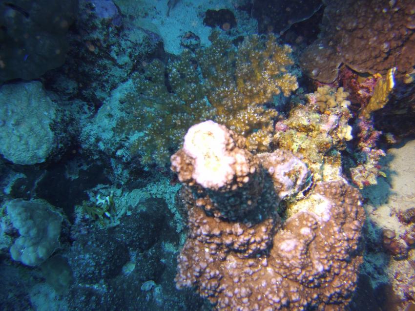 Korallen vom feinsten, Hausriff, Tulip Resort, Ägypten