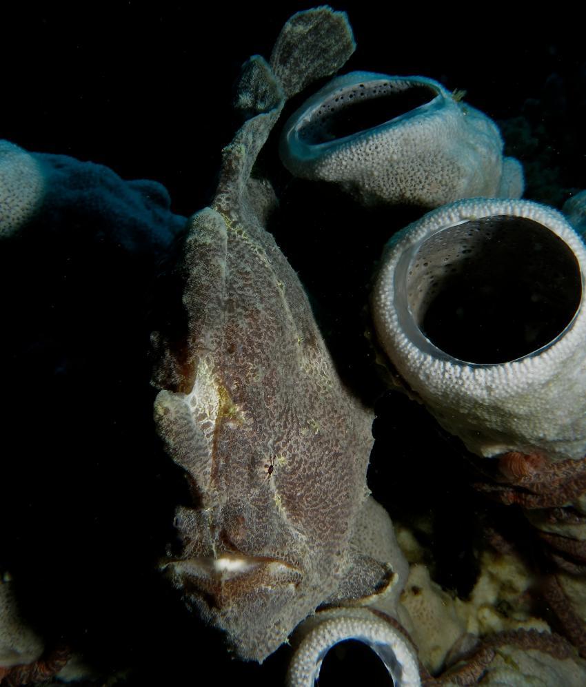 Bohol Lahoy Dive Resort, Bohol Lahoy Dive Resort,Philippinen,Anglerfisch,Frogfisch