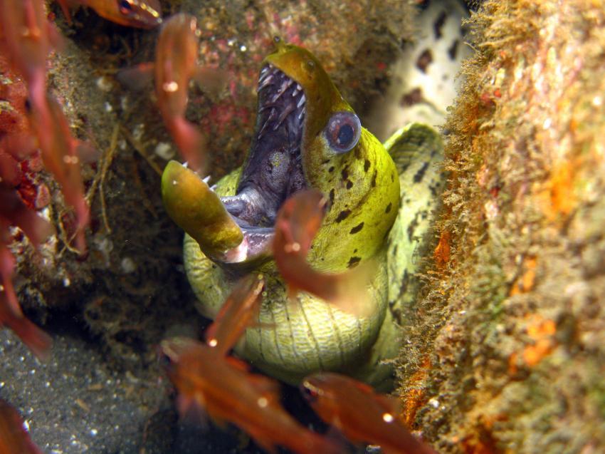Lembeh mit Bastianos / Diverse 2, Lembeh Strait,Nord Sulawesi,Indonesien,Muräne,Muraenidae