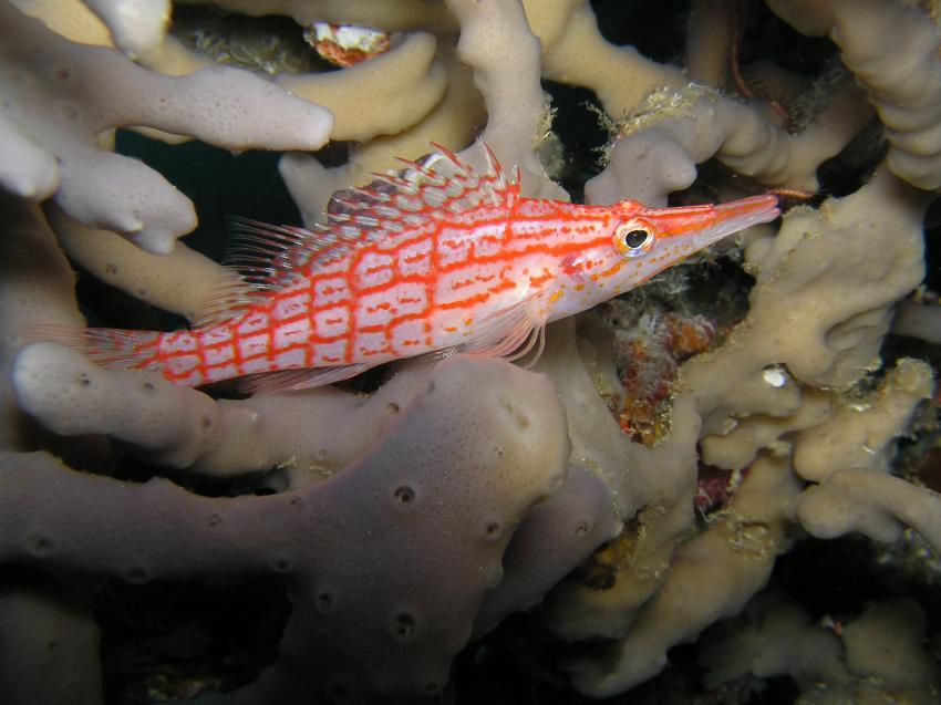 Ellaidhoo, Ellaidhoo,Ari-Atoll,Malediven,Riffbarsche,Langnasenbüschelbarsch