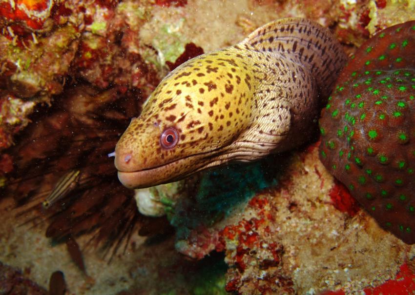 Kleines aber Feines am Hausriff der Freedom Divers in Safaga, Hausriff Freedom-Divers,Ägypten,Muräne